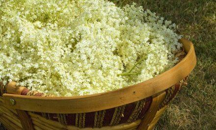 Florile de soc, un dar al naturii in anotimpul calduros