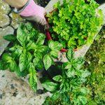 Plante aromatice pentru apartament, usor de intretinut